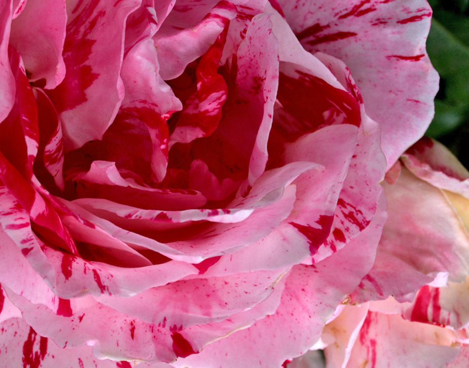 rose-closeup